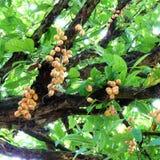 Bunch of Burmese grape (Baccaurea ramiflora) Royalty Free Stock Photography