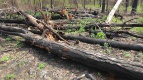 Bunch of burnt tree trunks. stock video