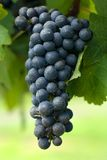 A Bunch of Cabernet Sauvignon. Grapes growing in a vineyard on the Southern Highlands of New South Wales, Australia Royalty Free Stock Images