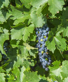 A Bunch of Cabernet Sauvignon Grapes. Stock Photo
