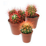 Bunch of cactuses. Plants and flowers: group of three multicolor cactuses, close-up shot, isolated on white background royalty free stock photo