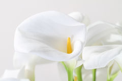 Bunch of Cala Lilies in high key. On white stock photo