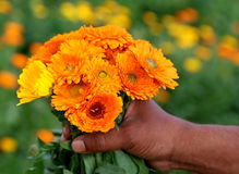 Bunch of calendula in hand Stock Images