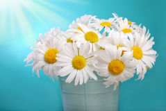 Bunch of camomile flowers Royalty Free Stock Image