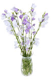 Bunch of campanula bellflower in glass vase Royalty Free Stock Image