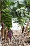 Bunch of canary bananas. Traditional agriculture in Barlovento ( Stock Image