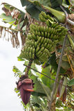 Bunch of canary bananas. Traditional agriculture in los Sauces (Canary Islands Stock Image