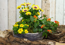 Bunch of cape daisies in basket. Bunch of cape daisies houseplant growing in basket Stock Photo