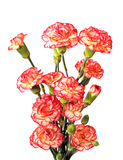 A bunch of carnation Stock Images