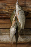 A bunch of carp on the background of wooden logs Royalty Free Stock Photos