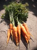Bunch of carrot Royalty Free Stock Photo
