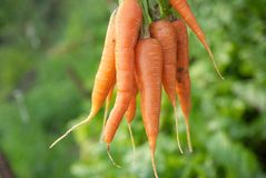Bunch of carrots Royalty Free Stock Image