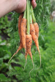 Bunch of Carrots Stock Images