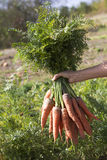 Bunch of  carrots with green leaves. Bunch of fresh carrots with green leaves Stock Photos