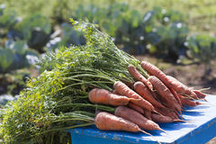 Bunch of carrots with green leaves. Bunch of fresh carrots with green leaves Royalty Free Stock Photos