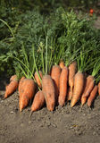Bunch of carrots with green leaves on the ground. Bunch of fresh carrots with green leaves on the ground Royalty Free Stock Photos
