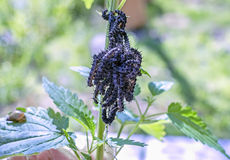 Bunch of caterpillars Stock Image
