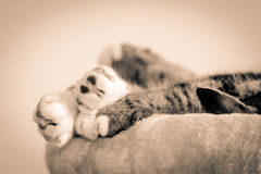 Bunch Of Cats Paws. Bunch of white cats paws, with tabby cats leg and ear visible lying on furry object. Processed in tinted monochrome Royalty Free Stock Image