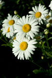 Bunch of chamomilas. Bunch of white chamomiles (Matricaria Royalty Free Stock Images