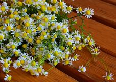 Herbal background, chamomiles, organic. A bunch of chamomiles, Roman chamomile, on a brown wooden table. Chamomile is one of the most widely used flowers for royalty free stock photo