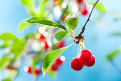 Bunch of cherries. On the branch in sunlight, sky on background Stock Images