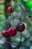 Bunch of cherries in the background of green foliage Stock Image