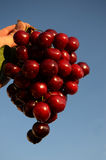 A Bunch of Cherries and Blue Sky Royalty Free Stock Image