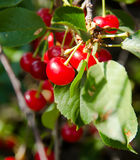 A bunch of cherries on a branch Stock Images