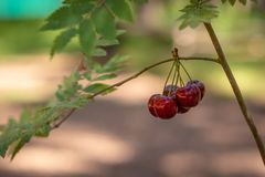 A bunch of cherries hangs on a tree. Selective focus photography.  Stock Photography