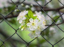 Bunch of cherry blossoms on the background mesh-netting Stock Photography