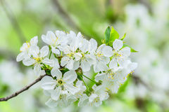 Bunch of cherry blossoms on blurred background Stock Photography