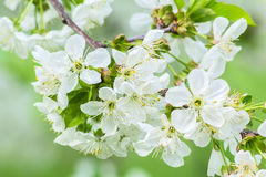 Bunch of cherry blossoms, macro Royalty Free Stock Image