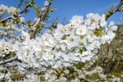 Bunch of cherry blossoms Royalty Free Stock Images