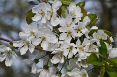 Bunch of cherry flowers Royalty Free Stock Images