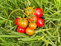 Cherry Tomatoes 2 Stock Images