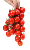 Bunch cherry tomatoes in hand Royalty Free Stock Image