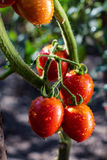 Bunch of cherry tomatoes red green in water drops,Ripe natural t Royalty Free Stock Images