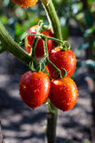 Bunch of cherry tomatoes red green in water drops,Ripe natural t Stock Photos