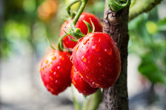 Bunch of cherry tomatoes red green in water drops,Ripe natural t Royalty Free Stock Photo