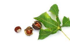 Bunch of chestnuts. Green chestnut leaf and some chestnuts on a white background Royalty Free Stock Image