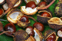 Bunch of chestnuts. Green chestnut leaves and a bunch of chestnuts Stock Photos