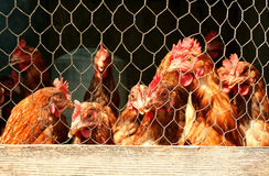 Bunch of chickens in a coop Stock Photo