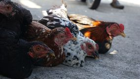 A bunch of chickens that will be sold at the animal market royalty free stock photo
