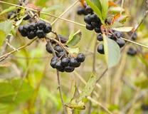 Bunch of chokeberry tree at garden - Aronia melanocarpa Royalty Free Stock Photos