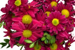 Bunch of chrysanthemum. On white background Royalty Free Stock Image