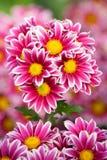 Bunch of chrysanthemum Royalty Free Stock Photo