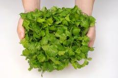 Bunch of cilantro stock photo