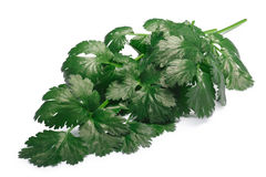 Bunch of Cilantro, paths. Bunch of fresh Coriander Coriandrum sativum. Clipping paths, shadow separated Royalty Free Stock Photo