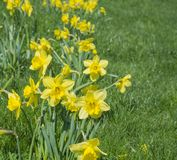 Bunch of close up yellow Daffodils flower Narcissus selective fo. Cus, blurry green grass background, copy space Stock Image
