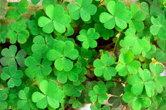 A bunch of Clover Leaves. Many clover leaves means luck Royalty Free Stock Image